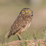 Burrowing Owl (7)
