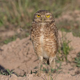 Burrowing Owl (8)