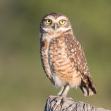 Burrowing Owl (9)