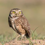 Burrowing Owl (10)