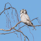 Northern Hawk Owl (1)