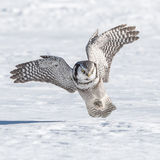 Northern Hawk Owl (2)