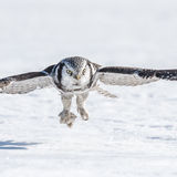 Northern Hawk Owl (3)