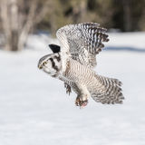 Northern Hawk Owl (5)