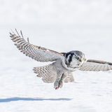 Northern Hawk Owl (6)
