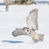 Northern Hawk Owl (7)