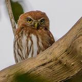 Ferruginous Pygmy-Owl (1)