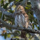 Ferruginous Pygmy-Owl (2)
