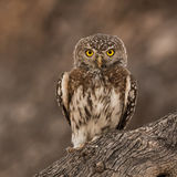 Pearl-spotted Owlet (2)