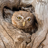 Pearl-spotted Owlet (3)