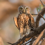 Pearl-spotted Owlet (4)
