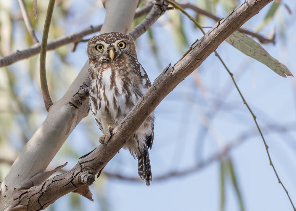 Pearl-spotted Owlet (5)