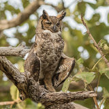 Great Horned Owl (2)