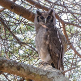 Verreaux's Eagle-Owl (1)