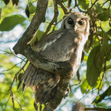 Verreaux's Eagle-Owl (2)