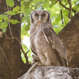 Verreaux's Eagle-Owl (3)