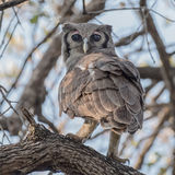 Verreaux's Eagle-Owl (4)