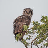 Verreaux's Eagle-Owl (5)