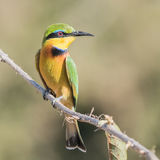 Little Bee-eater (1)