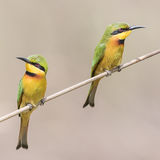 Little Bee-eater (2)