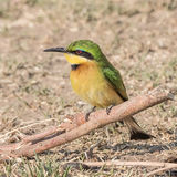 Little Bee-eater (3)