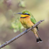 Little Bee-eater (4)