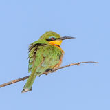 Little Bee-eater (6)