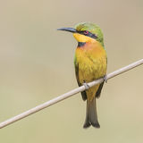 Little Bee-eater (5)