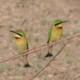 Little Bee-eater (7)