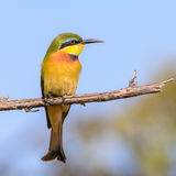 Little Bee-eater (8)