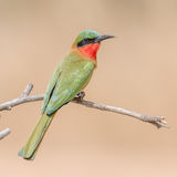 Red-throated Bee-eater (1)
