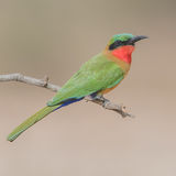 Red-throated Bee-eater (3)