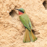 Red-throated Bee-eater (4)