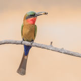 Red-throated Bee-eater (5)