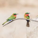 Red-throated Bee-eater (6)