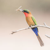 Red-throated Bee-eater (7)