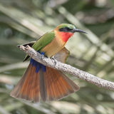 Red-throated Bee-eater (8)