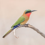Red-throated Bee-eater (9)