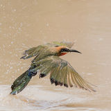 White-fronted Bee-eater (4)