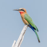 White-fronted Bee-eater (5)