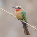 White-fronted Bee-eater (6)