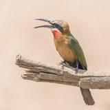 White-fronted Bee-eater (7)