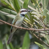 White-throated Bee-eater (2)