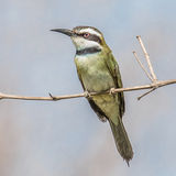 White-throated Bee-eater (3)