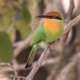 Böhm's Bee-eater (1)
