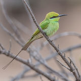 Green Bee-eater (1)