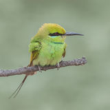 Green Bee-eater (2)