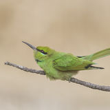 Green Bee-eater (3)