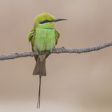 Green Bee-eater (4)