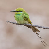 Green Bee-eater (5)